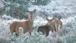 Deer With Parents