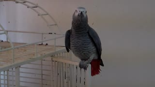Singing Parrot Whistles 'Jingle Bells' Tune