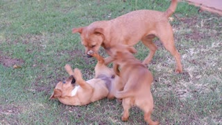 Funny Video Dogs Playing With Each Other