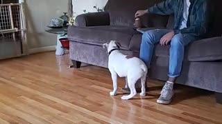 Chunk or Bulldog