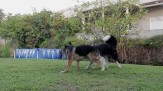 Dogs Playing Two Pets Canine Garden Animals