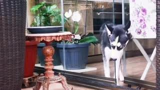 Husky escape artist squeezes through tiny door opening