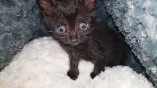 Female Black Angle Eye Kitten