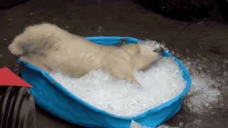 BABY POLAR BEAR PLAYS WITH ICE CUBES