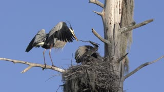 Great Blue Herons in a Nest with a Chick