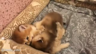 Adorable Chubby Kittens Play Fighting