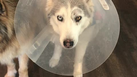 Stubborn Husky Loudly Protests Against Annoying Cone
