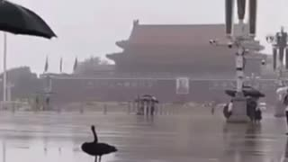 Black swan event coming to Beijing China?