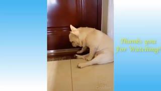 Tired bulldog