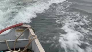 Sea Lions Swim with Skiff