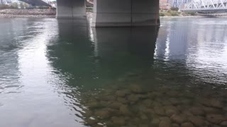 Beaver under water
