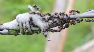 united ants