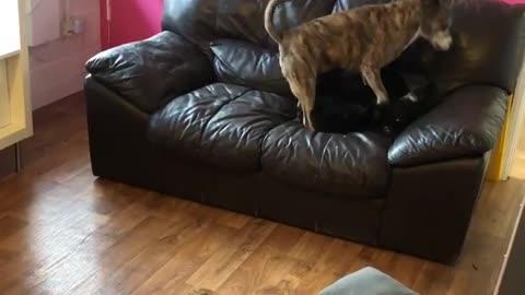 2 dogys playing on sofaa