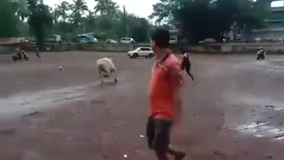 A cow playing football with humans.