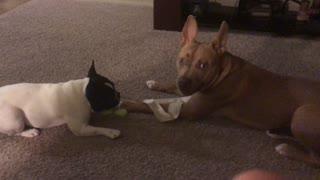 Pit Bull vs French Bulldog - Sweetest Reaction