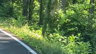 Bear Cub Clambers up Tree to Escape Traffic