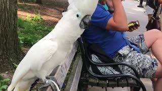 Cockatoo Barks at Passing Dog