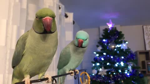 Parrots Have A Serious Chat Accompanied With Kisses