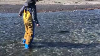 Chasing a Silver Salmon Upstream