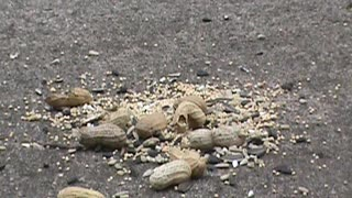 Chipmunks and friends eating peanuts