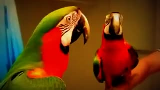 Parrot and The Mirror !!!!