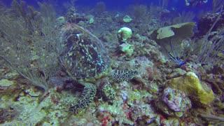 SCUBA Diving Belize - Shark & Turtle