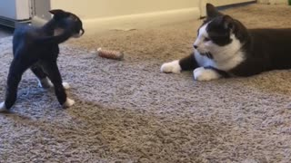 Devon Rex Kitten Surprised by Normal Size Cat