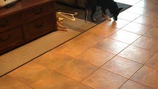 Dog/cat play