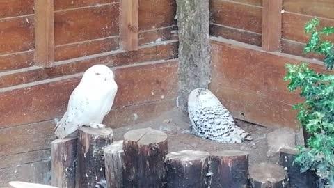 ADORABLE SNOWY OWLS 🤗🦉