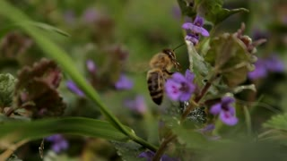 Bee Foraging Honey from Purple Flowers