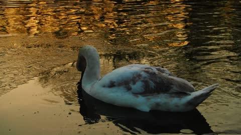 Amazing ducks in lake , I. Love this colour