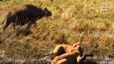 Lion Killed Buffalo Baby | Lion vs Buffalo Attack | Animal Attacks 2020