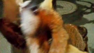 Feeding a Fox For a Close Encounter