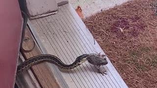 Snake finds frog for snack
