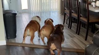 Excited bulldogs can't contain excitement for owner's return