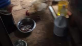 Chicken eat dog food