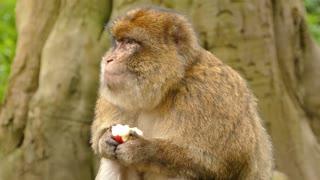 A monkey eating fruits