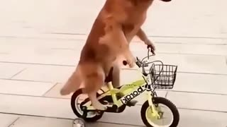 Cute Dog Riding A Bicycle!