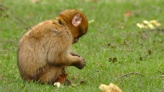 little monkey eating bread 2021