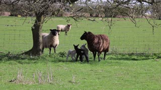 sheep day