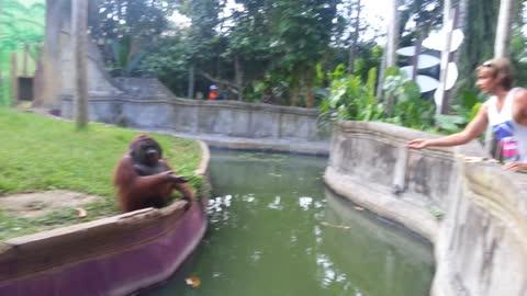 Man Tosses Treat At An Orangutan. What Happens Next Has Everyone In Disbelief!