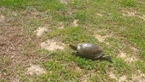 A Turtle Visitor