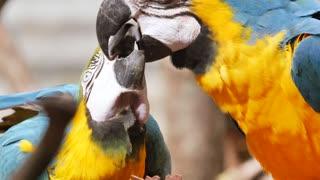 Parrot bird feeds his son