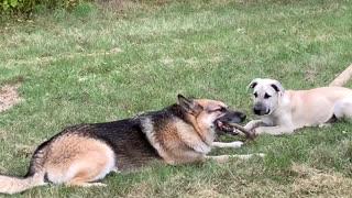 German Shepherd sharing stick w Puppy