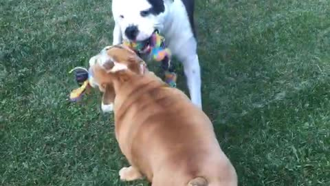 Bulldog besties playing together