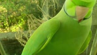 parrot green