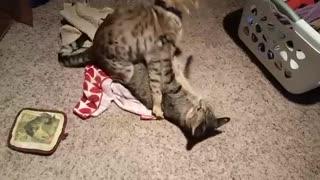 Cat romance