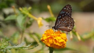 What do butterflies eat?
