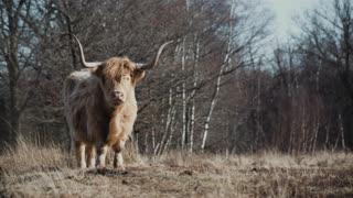 Highland Big Cow