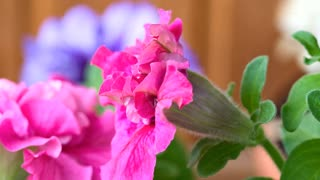 Petunia flower opening in slow motion